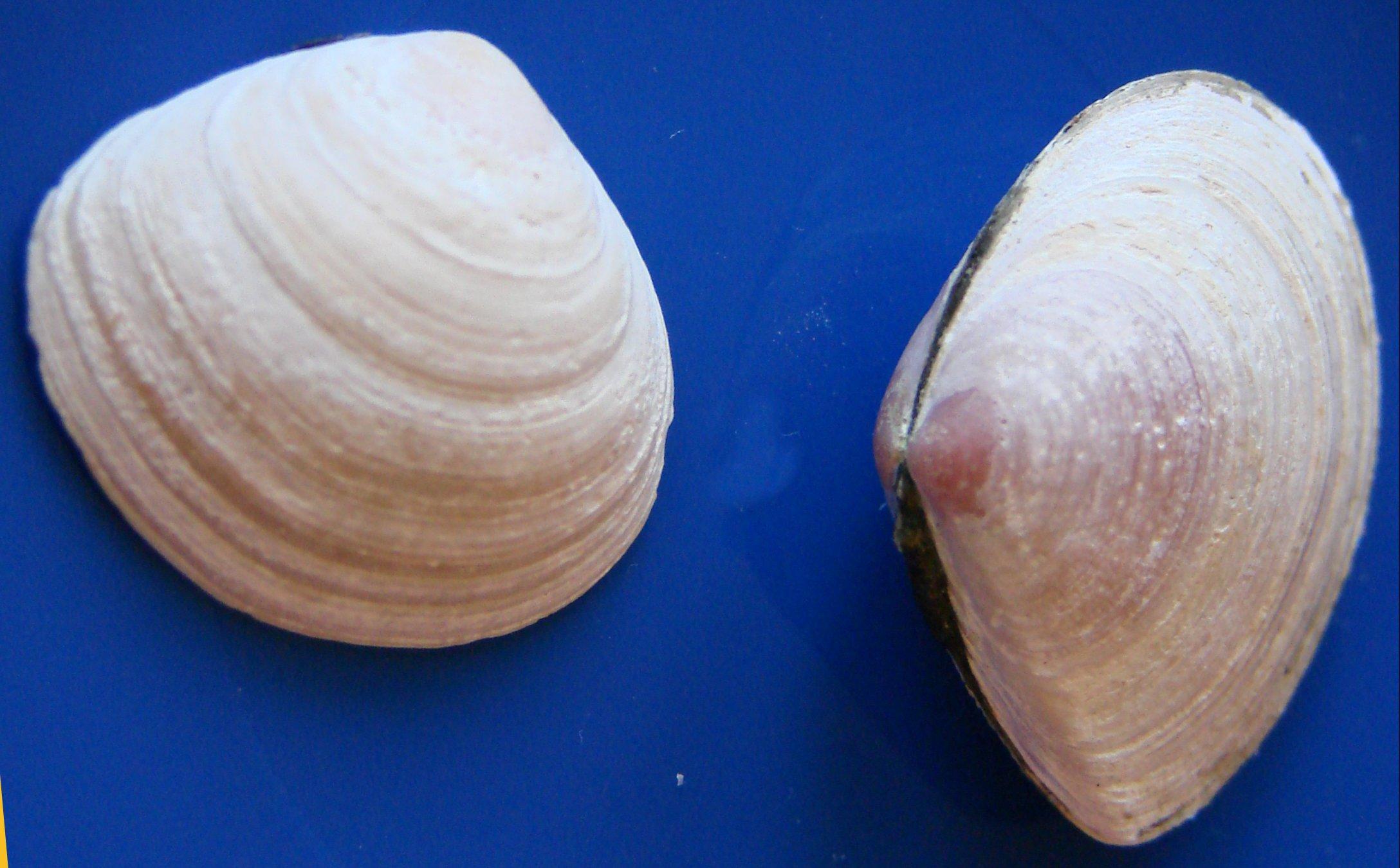 Rogowiec bałtycki to małż z rodziny rogowcowatych. Łatwo traci beżową warstwę konchiolinową i wtedy pod spodem ukazuje się warstwa wapienna, zwłaszcza w starszej części, zabarwiona na wiśniowy lub żółty kolor.