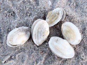 Małgiew piaskołaz - gatunek jadalnego małża z rodziny małgwiowatych. Od łacińskiej nazwy tego mięczaka pochodzi nazwa etapu rozwoju Bałtyku obejmującego współczesny kształt tego morza.