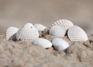 Sercówka pospolita. Jedyny bałtycki przedstawiciel małży z rodziny sercówkowatych. Muszle często spotyka się na brzegu morza.